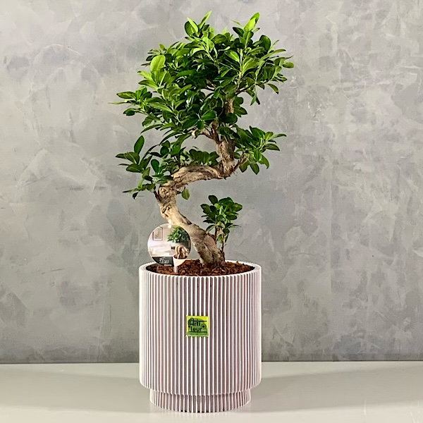Bonsai Plant 'Premium Collection'