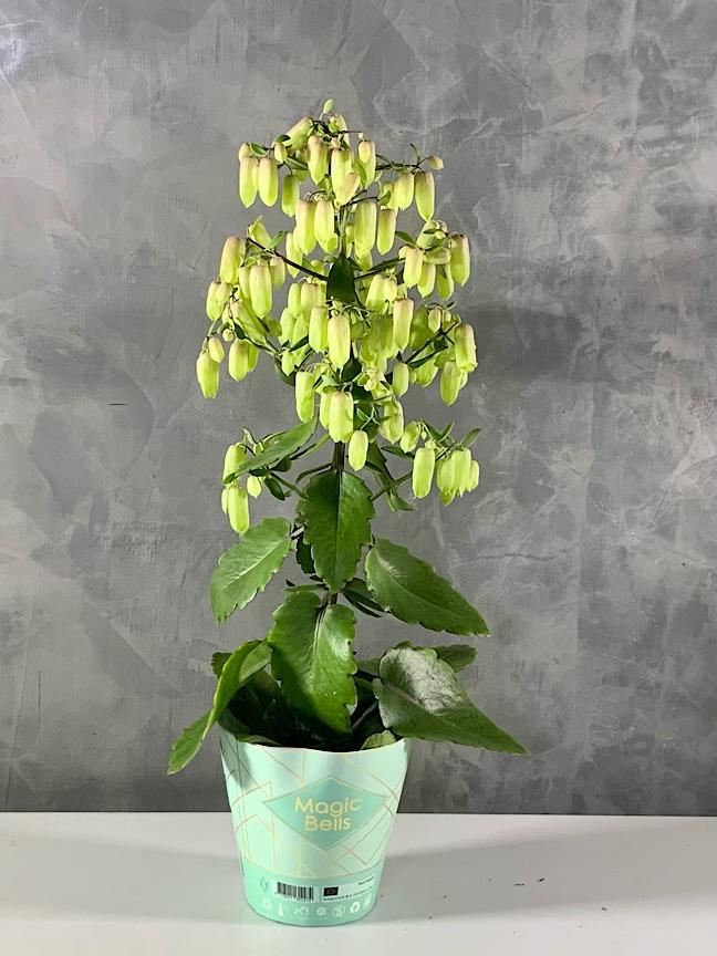 Kalanchoe Magic Bell Indoor Plants