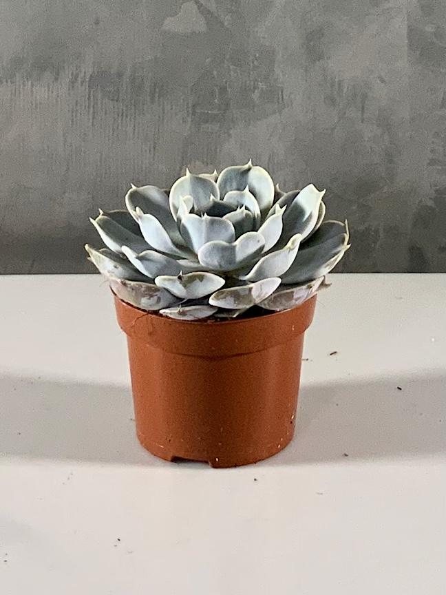 Echeveria 'Indoor Plants'