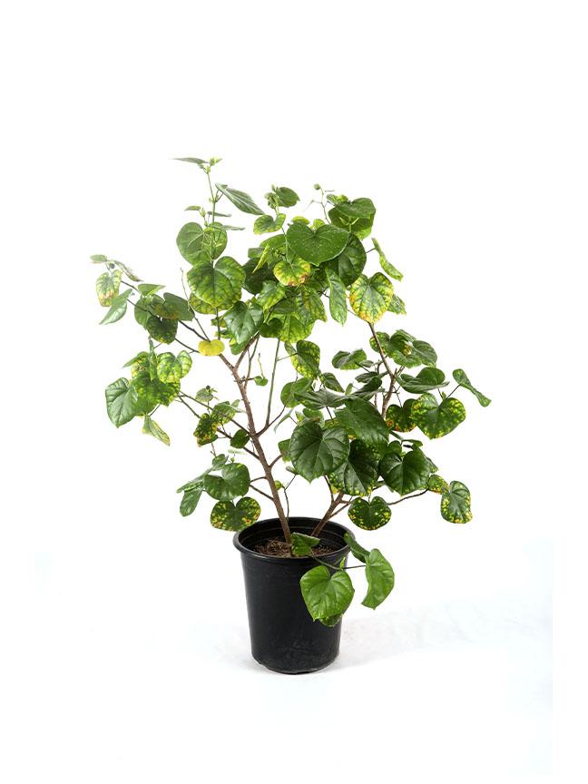 Hibiscus Tiliaceus 'Outdoor Plants'