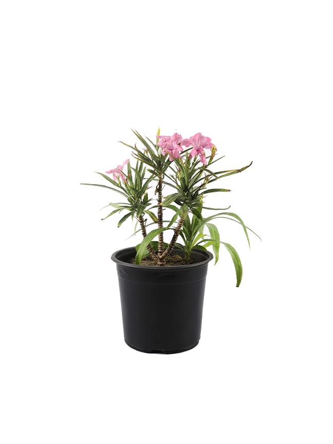 رويليا القزم نباتات خارجية