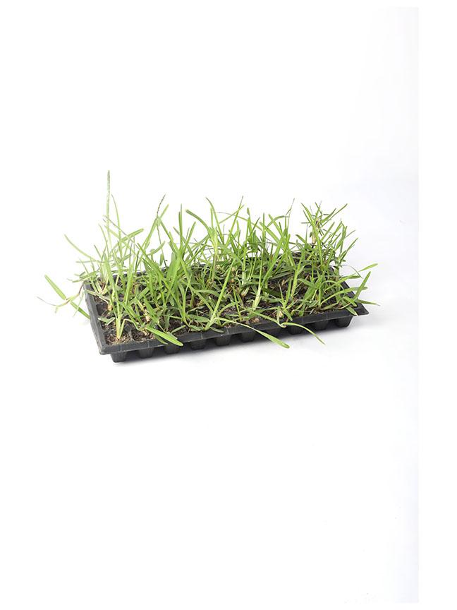 نجيل فرنسي 'نباتات خارجية'