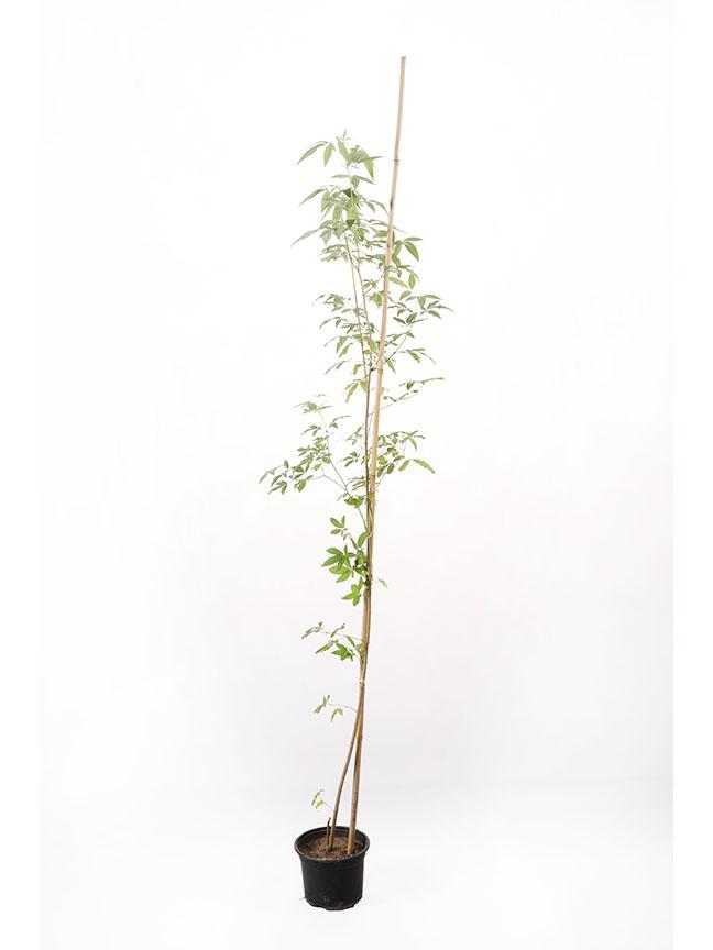 كف مريم نباتات خارجية