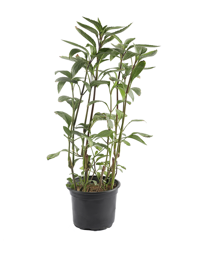 رويليا بريتونيانا 'نباتات خارجية'