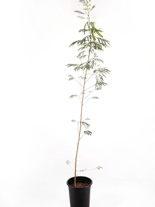 شجر الاكاسيا نباتات خارجية