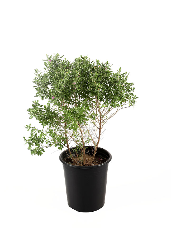 Leucophyllum Frutescens-1 'Outdoor Plants'