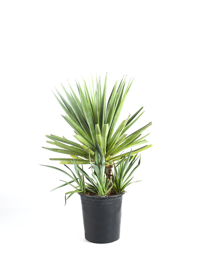 Agave Angustifolia Green Leaf Indoor Plants