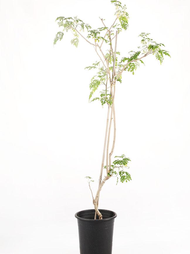 نبات المورينجا 'نباتات خارجية'