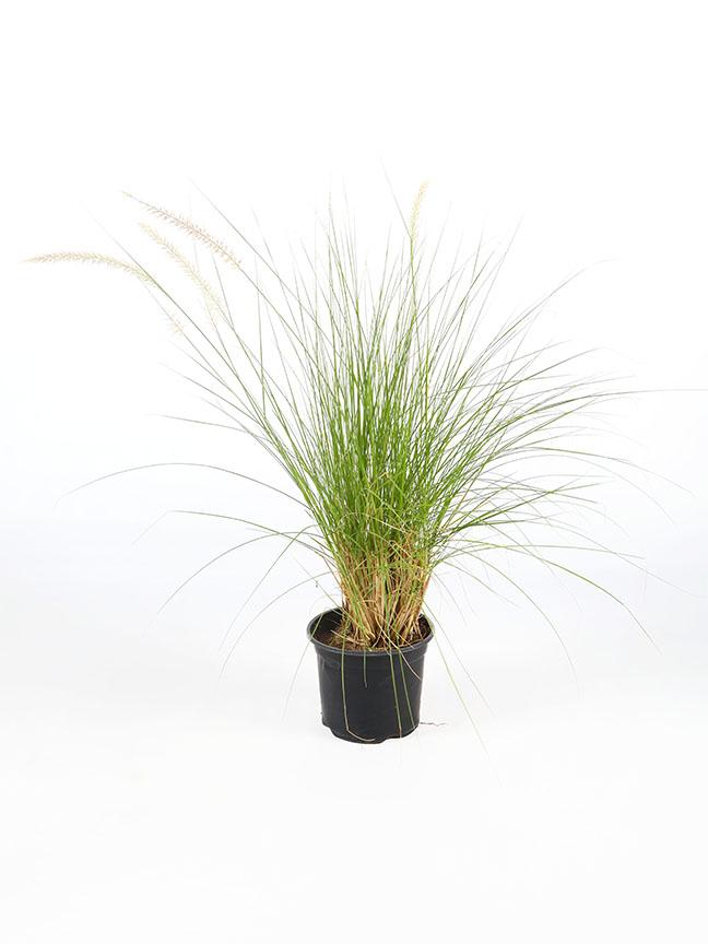 Pennisetum Setaceum Outdoor Plants