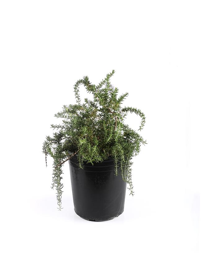 Rosemarinus Prostatus Outdoor Plants