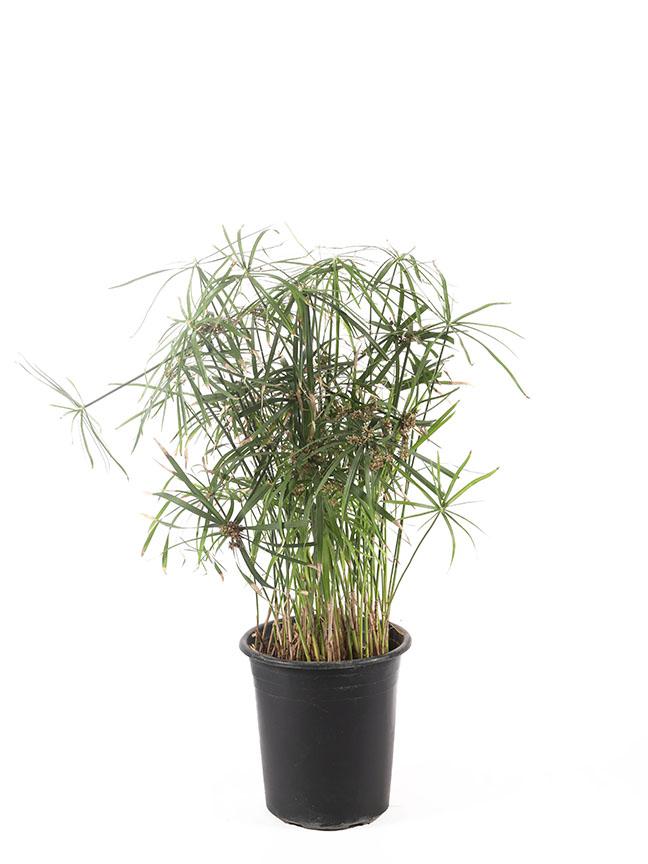 Cyperus Alternifolius 'Outdoor Plants'
