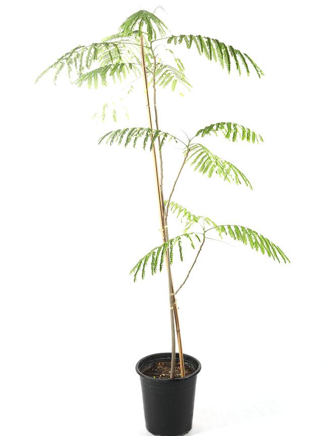 رنف ملكي 'نباتات خارجية'