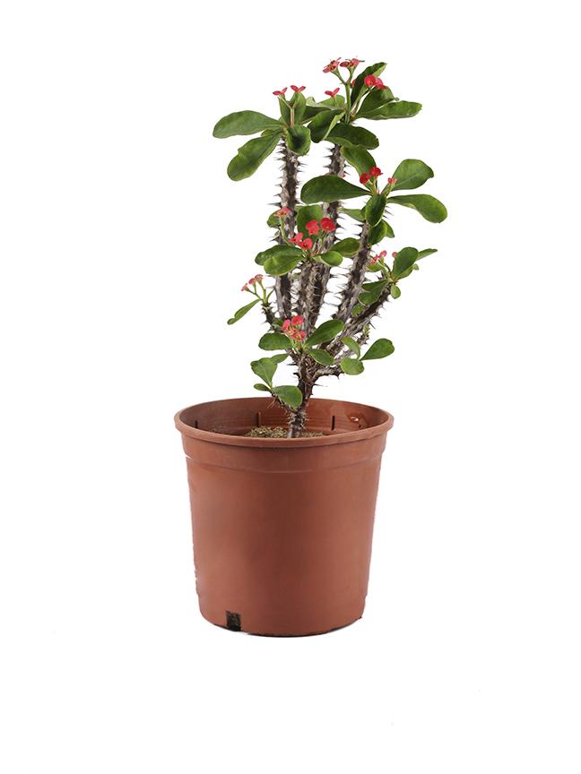 فربيون شوكة المسيح 'نباتات خارجية'