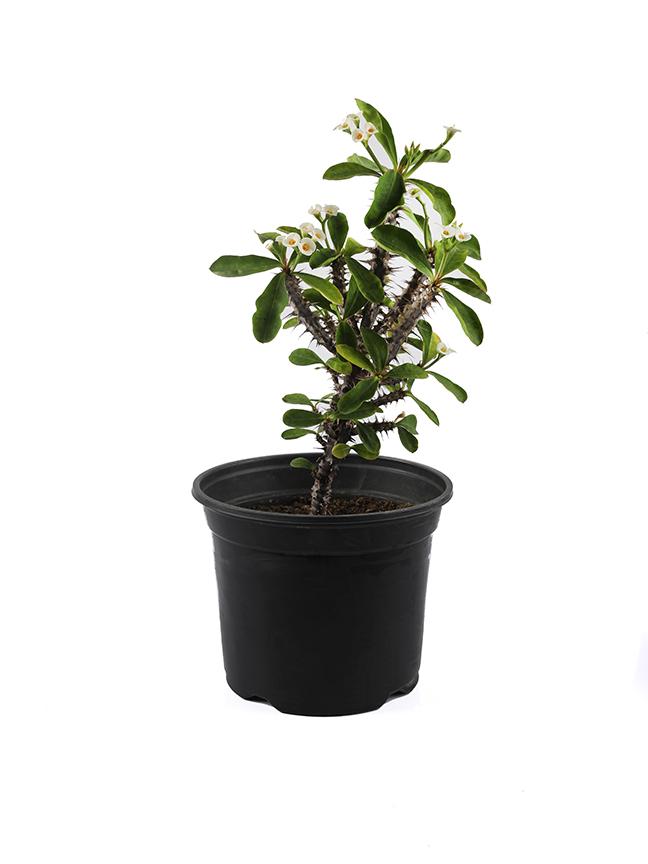 Euphorbia Milii -White Outdoor Plants