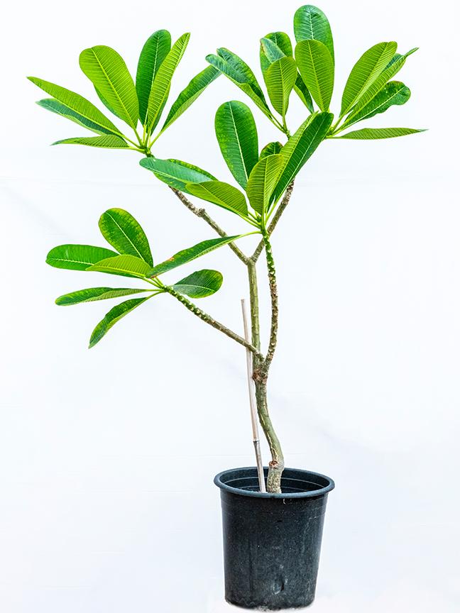 بلوماريا - صغير نباتات خارجية