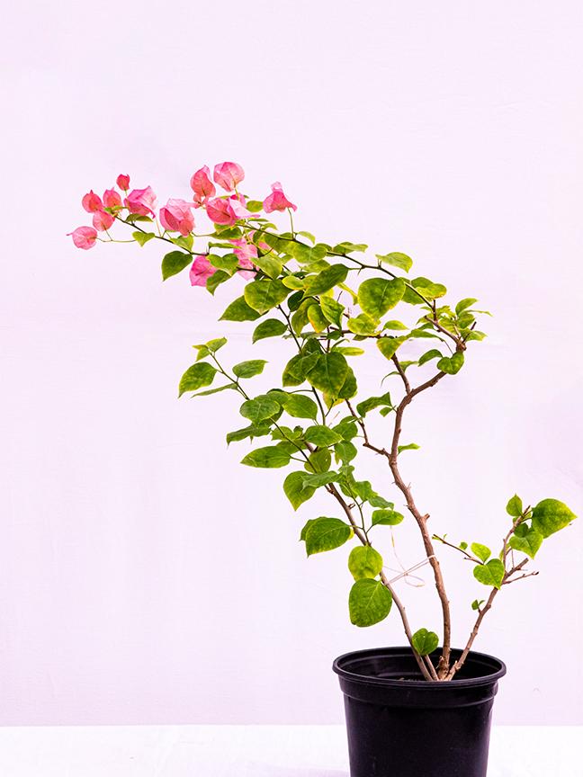 Bougainvillea Pink 'Outdoor Plants'