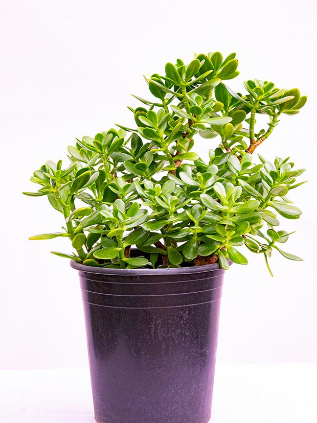 كراسولا أوفاتا 'نباتات داخلية'