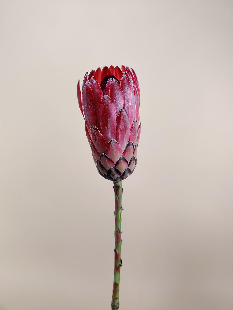 بروتيا سيلفيا ' الزهور بالجملة'
