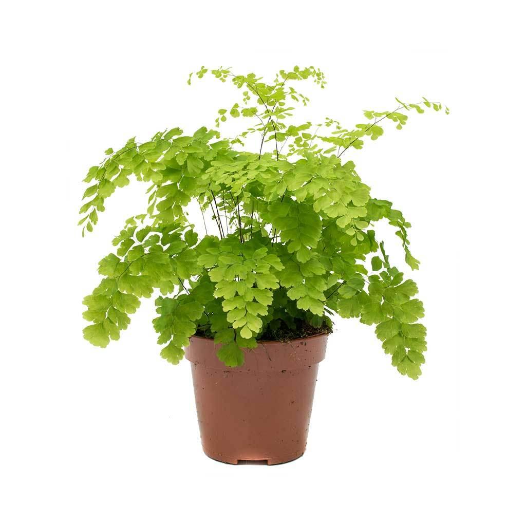 Adiantum Raddianum Indoor Plants
