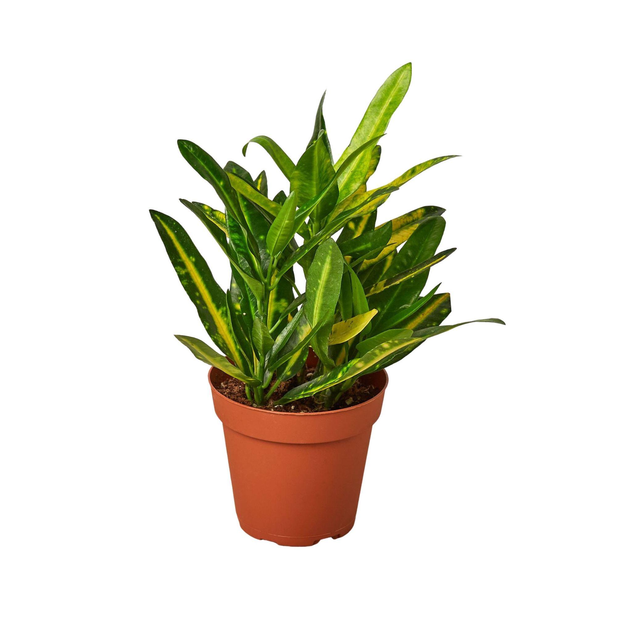 Codiaeum Sunny Star Indoor Plants