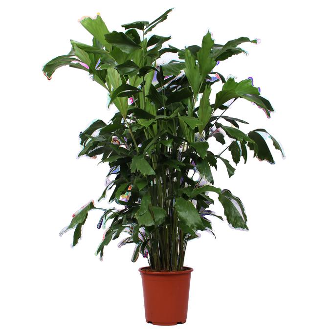 قريوطة طرية نباتات داخلية