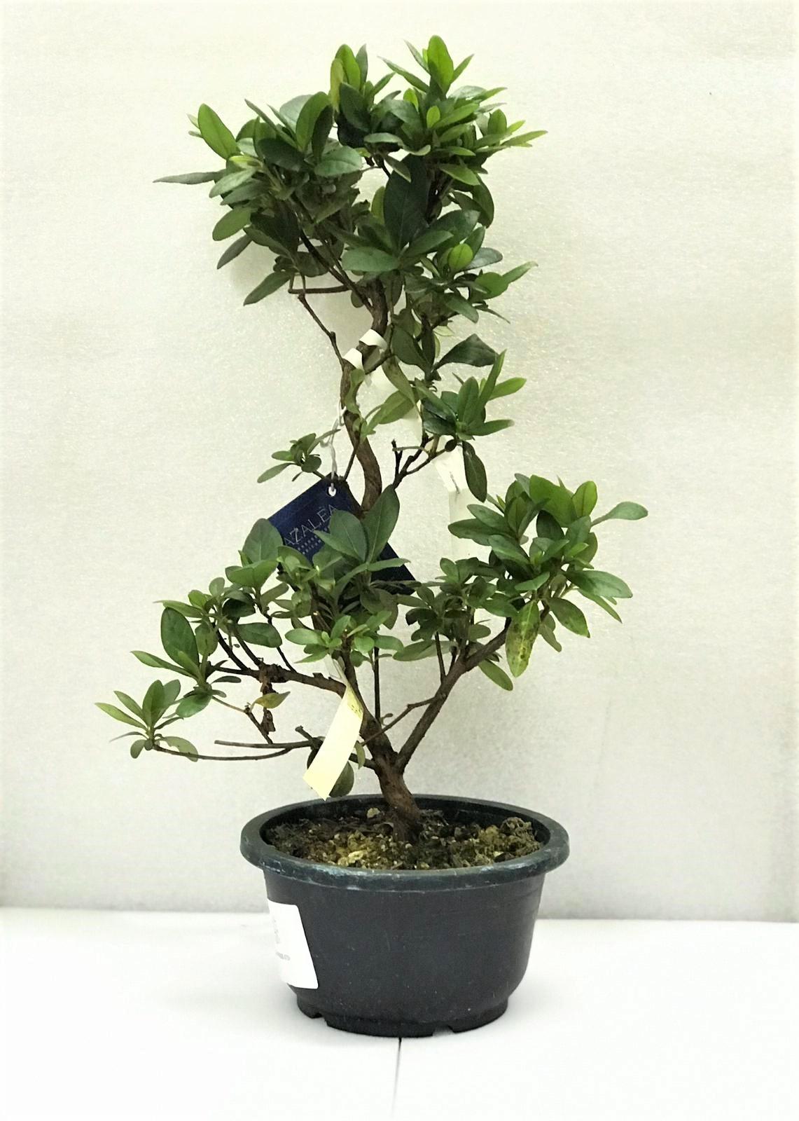 azalea bonsai Office Plants