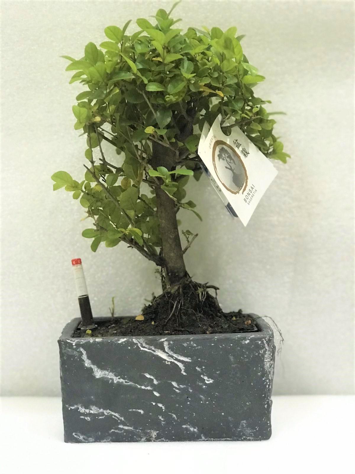 Bonsai   Sageretia Office Plants