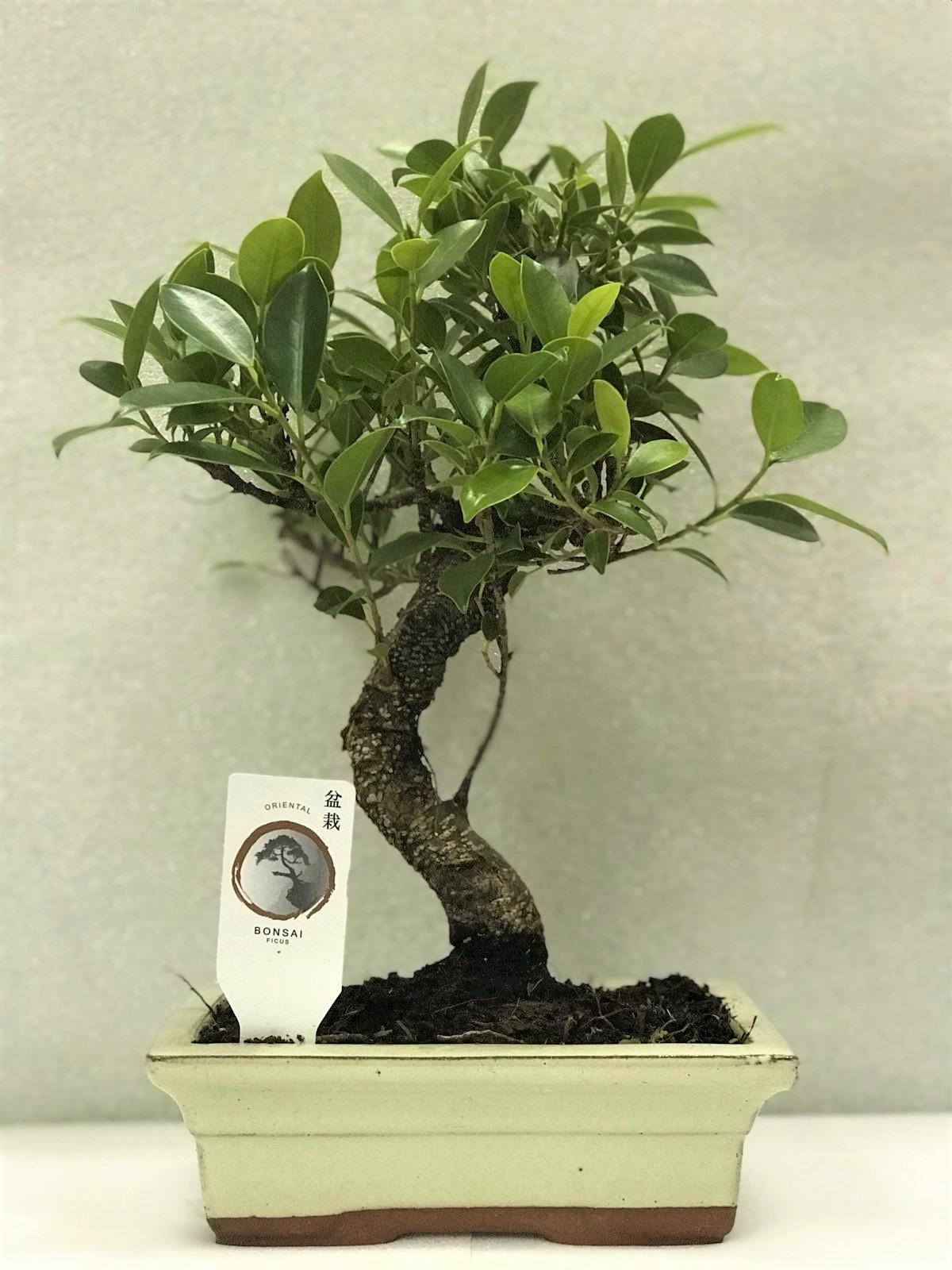 Bonsai ficus s shape Office Plants
