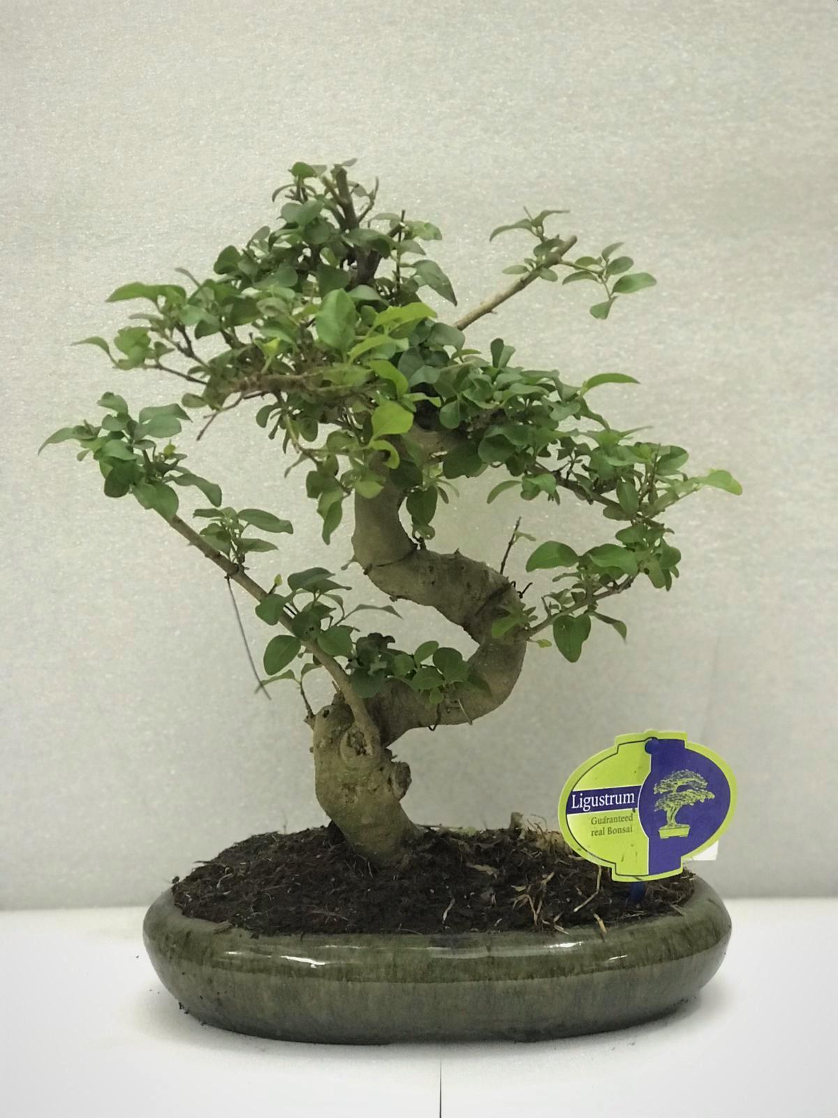 bonsai ligustrum  Office Plants