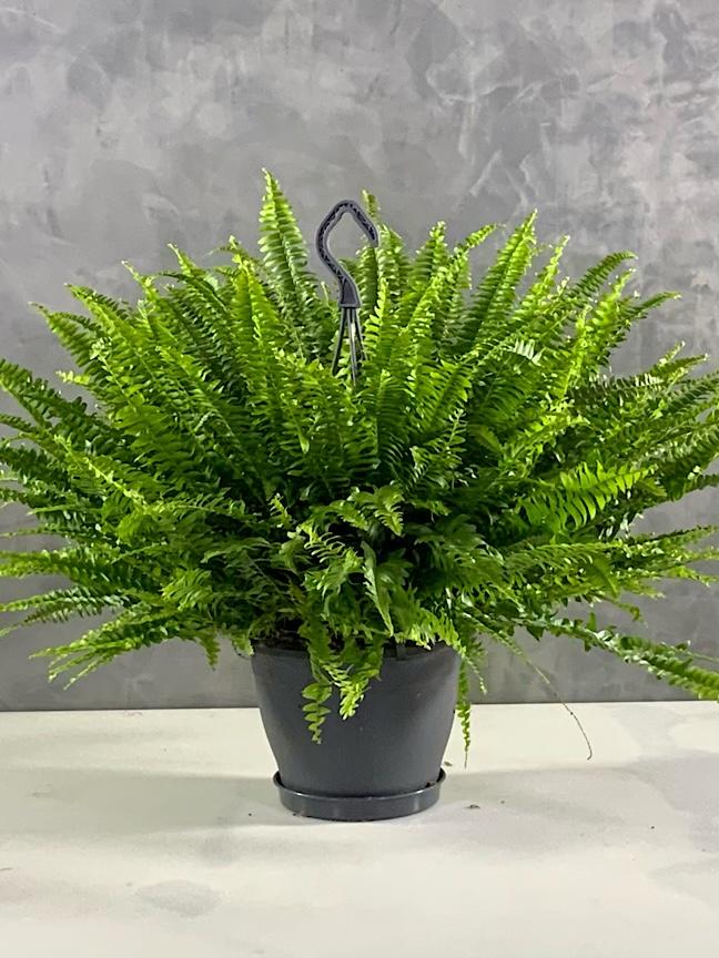 Nephrolepis Fern Indoor Plants