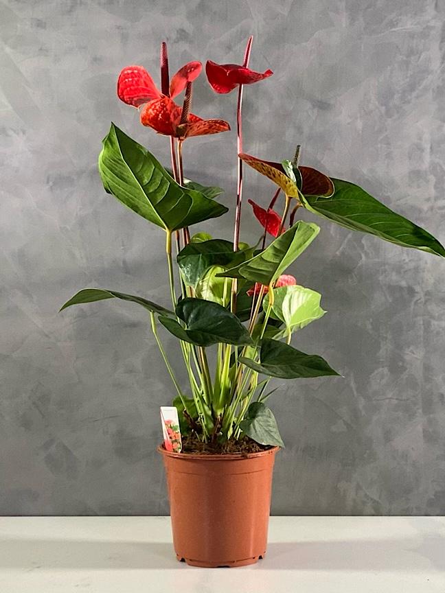 أنثوريوم 'نباتات داخلية'