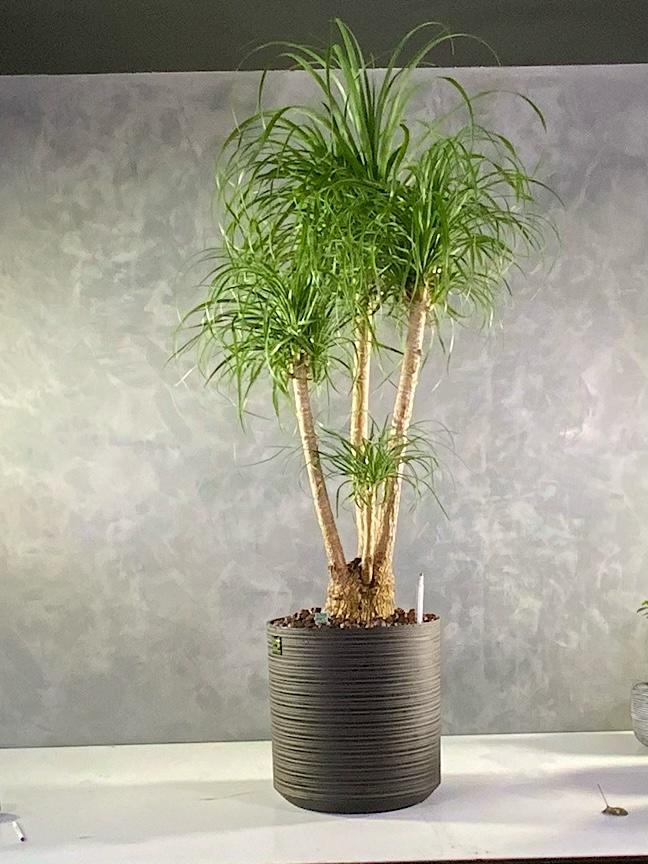 Beaucarnea recuvita Office Plants