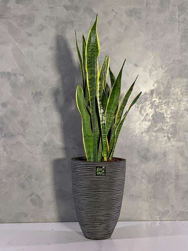 Snake plant  Premium Collection