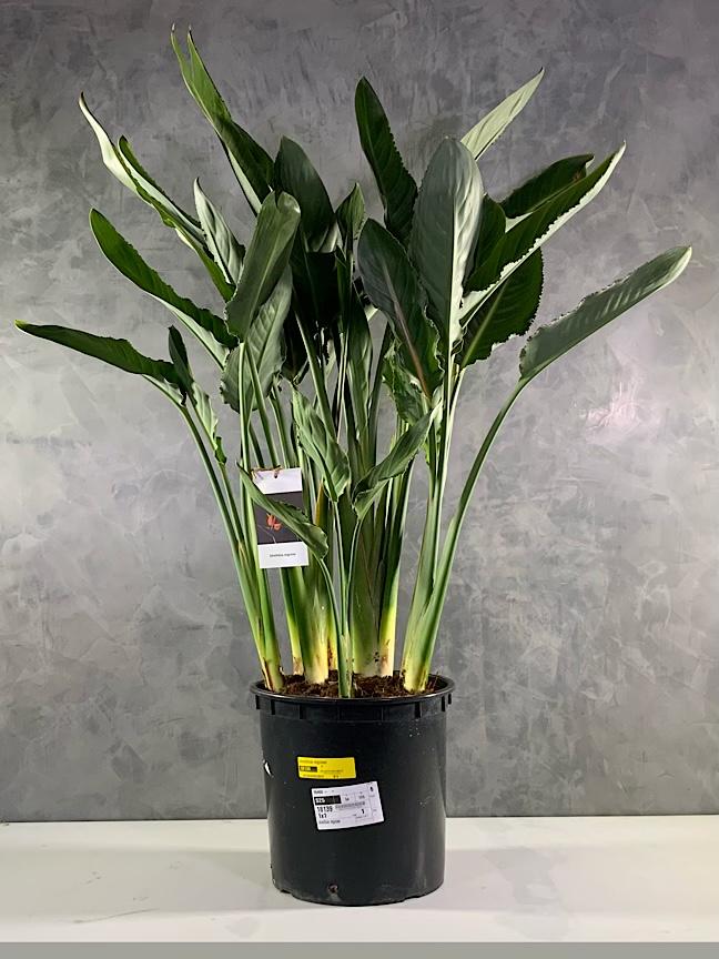 عصفور الجنة 'نباتات داخلية'