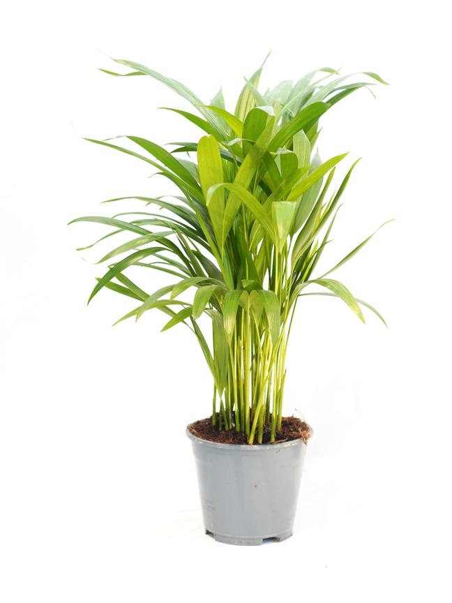 أريكا دايبسي نباتات داخلية