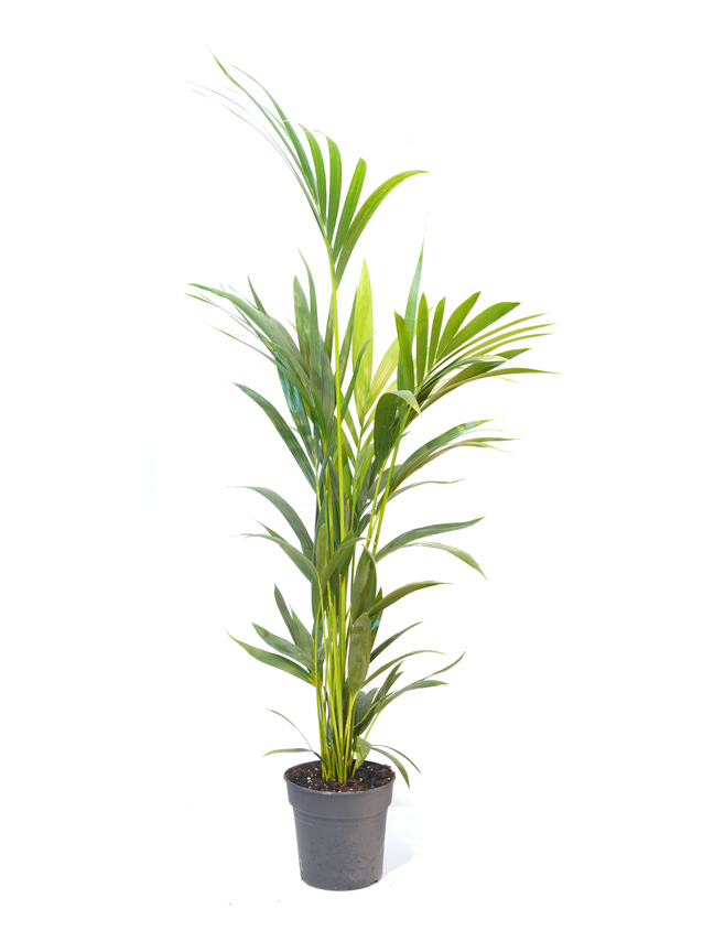 Kentia Indoor Plants