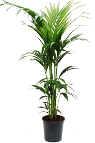 هاورثيافورستيريانا نباتات داخلية