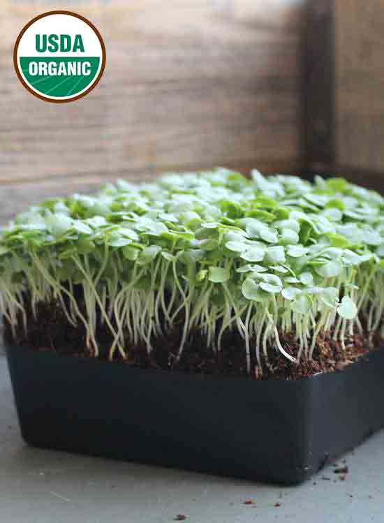 Basil Lemon - Micro Seeds