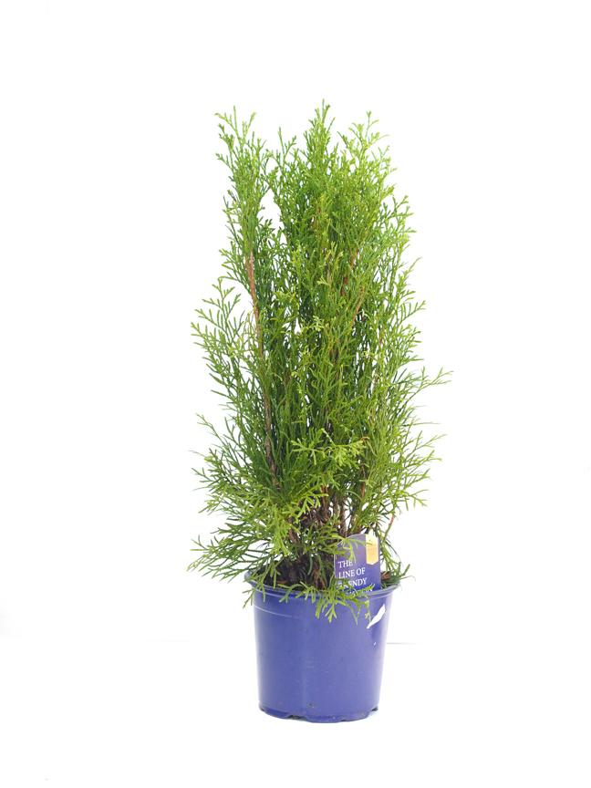 Thuja Occidentalis 'Smaragd' 'Indoor Plants'