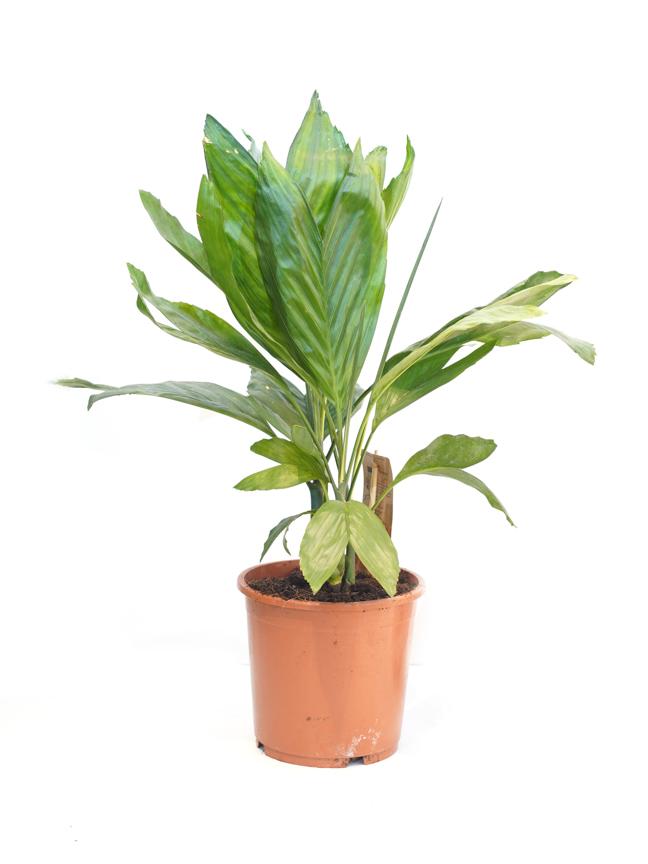 شاميدوريا ميتاليكا 'نباتات داخلية'
