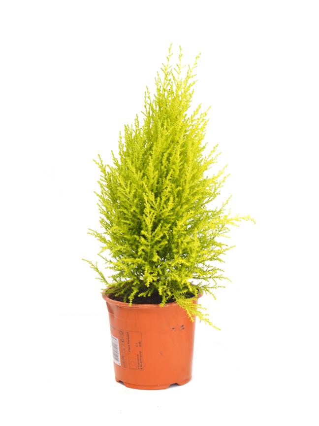Cupressus Macrocarpa Goldcrest Wilma  Indoor Plants