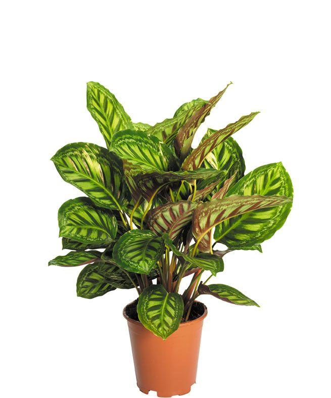 Calathea Flamestar Indoor Plants