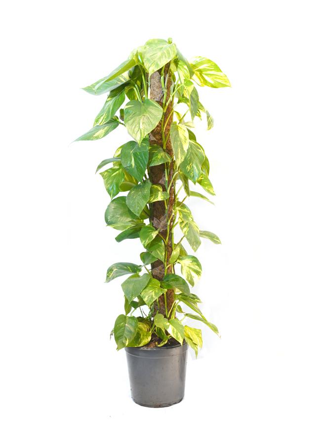 Epipremnum Pinn Mosstick 'Indoor Plants'