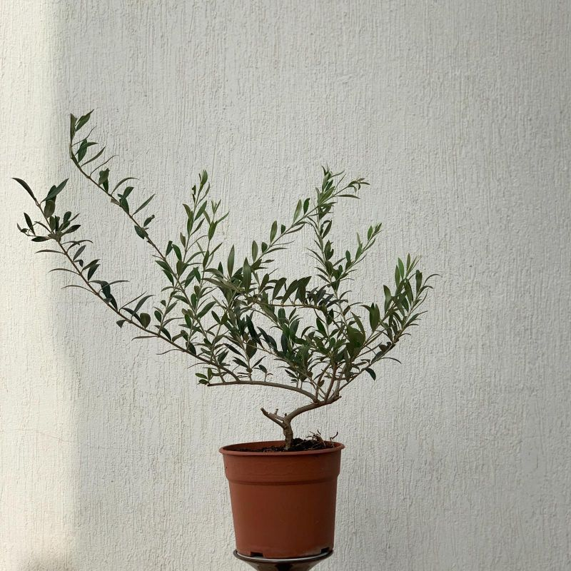 Olives Plants-23cm 'Indoor Plants'