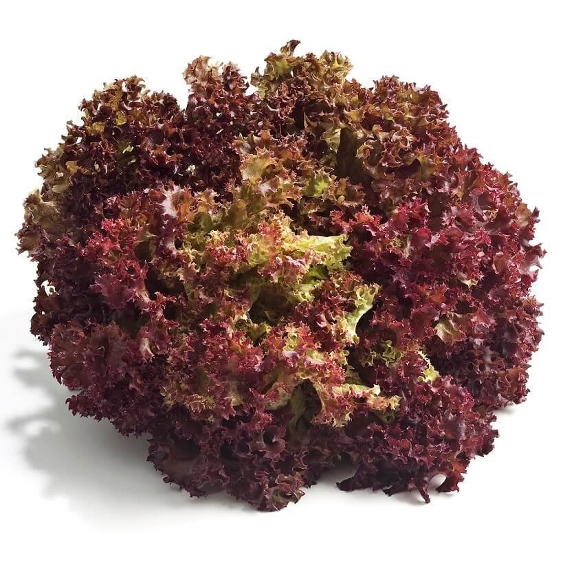 Lettuce Lollo Rossa Seeds