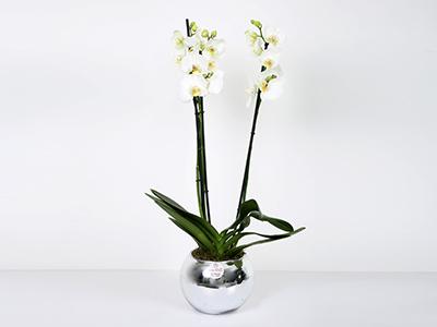 أوركيد في مزهرية 'زهور مع قاعدة'