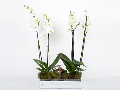 أوركيد  'زهور مع قاعدة'
