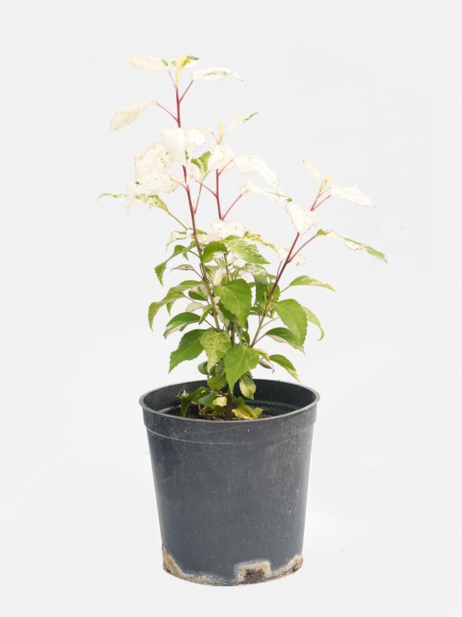 Hibiscus Mubargash 'Outdoor Plants'