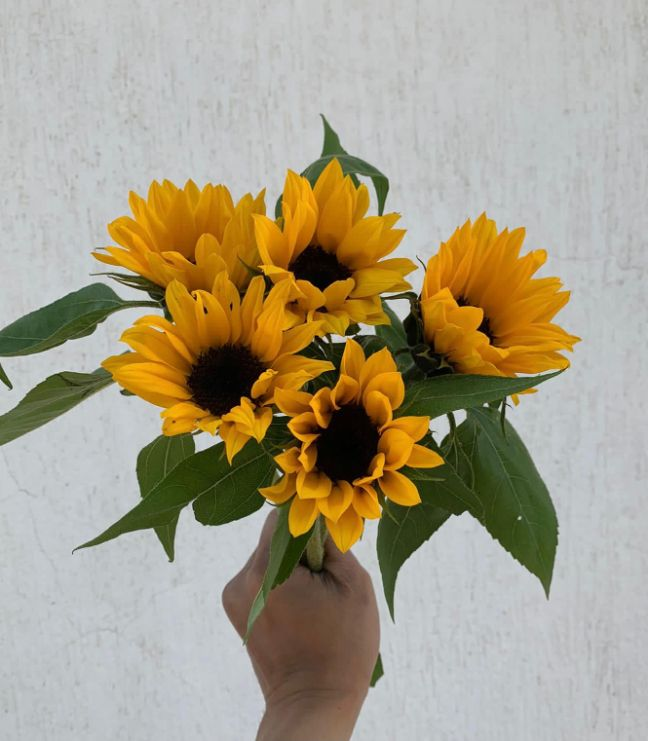 Sun Flower Wholesale Flowers