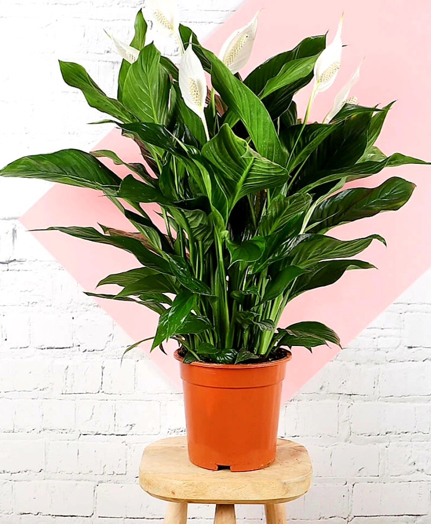 spathiphyllum hollandi Indoor Plants